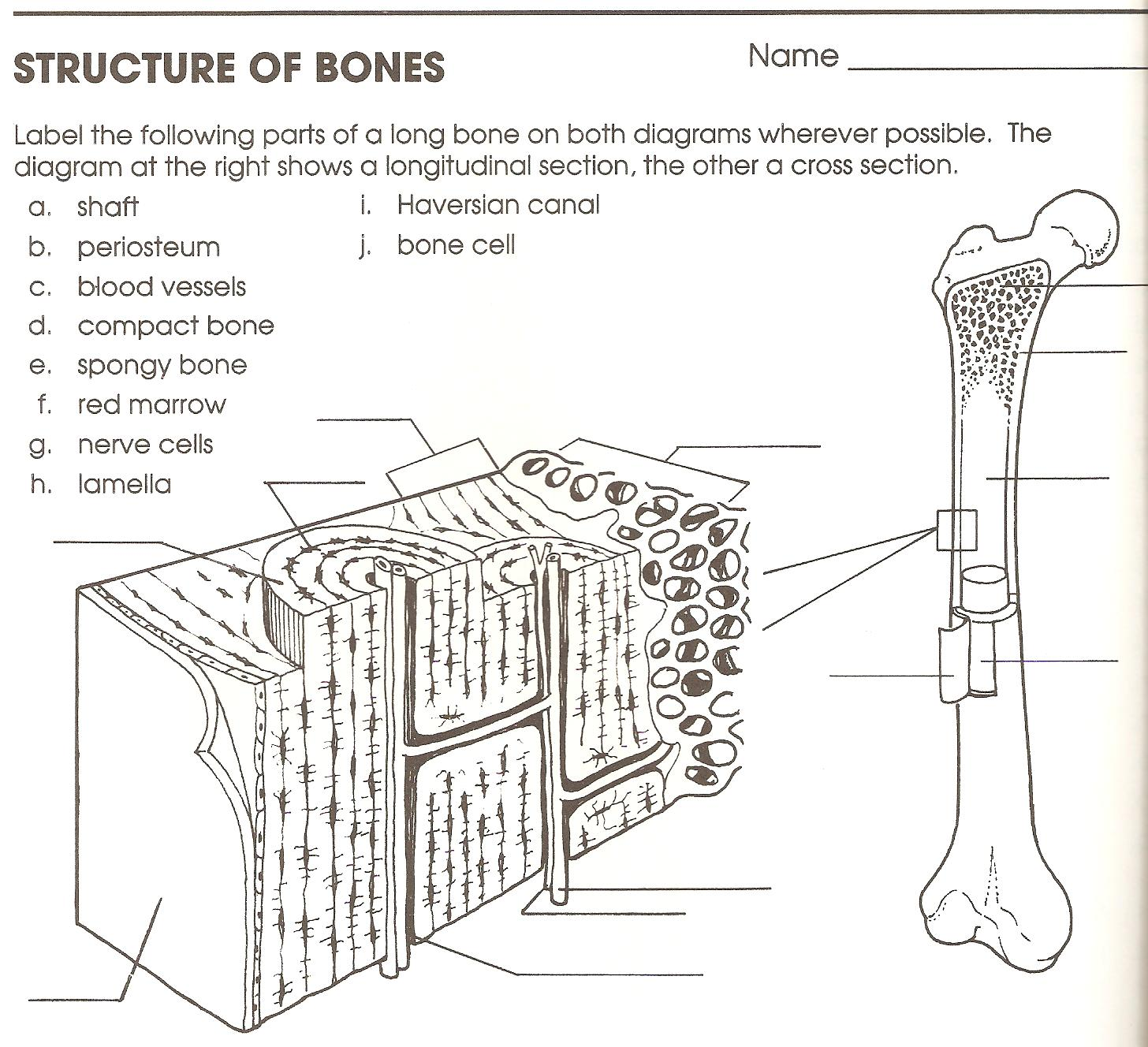 bones worksheet Termolak – Bones Worksheet